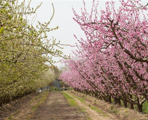 Fresno - Fresno Blossom Trail